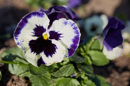 close up of a white violet pansy flower on a sunny day