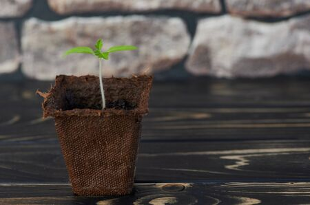 young honey tomato plant in a brown biodegradable pot on wooden table with copy space Stock Photo
