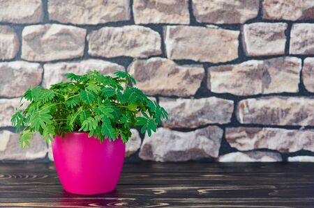background color picture with mimosa pudica plant in a pink pot on a wooden table in front of a wall with copy space