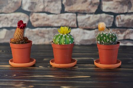 close up of three blooming cacti on wooden table in front of a wall Stock Photo