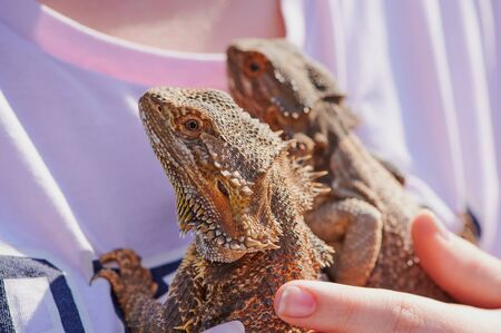 two bearded dragons on a t-shirt of a girl held by a hand in the sunshine Stock Photo