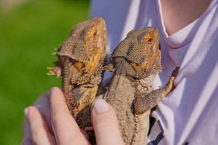 two bearded dragons on a t-shirt of a girl held by a hand on a sunny day