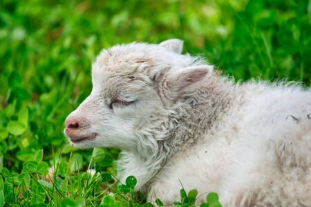 white lamb with closed eyes is sleeping on a green meadow in the sunshine