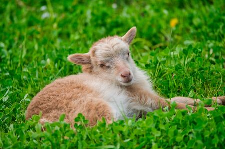 cute brown lamb is lying on a green meadow in spring
