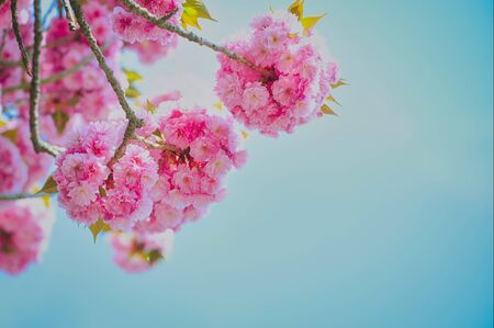 branch of a Japenese cherry tree in spring against blue sky with copy space