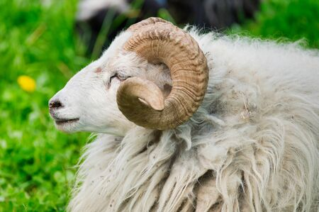 white ram on a green meadow, color photo Stock Photo