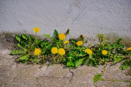 dandelions growing on asphalt in front of a white wall Stock Photo