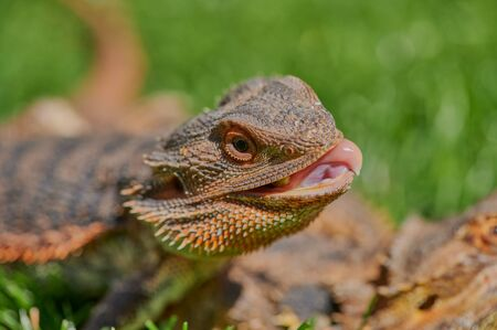 bearded dragon while eating a dandelion flower in the sunshine