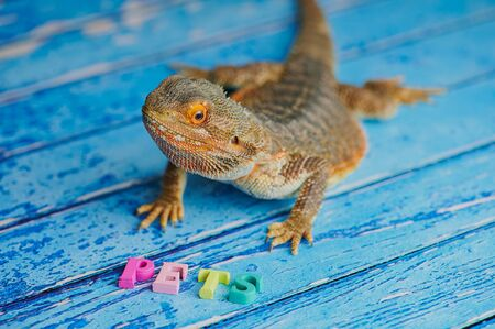 male bearded dragon is sitting on a blue wooden background with the word PETS in front of him, laid with wooden colored letters, focus on the animal head Stockfoto