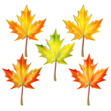 leafage: Set of autumn maple leaves isolated on white background