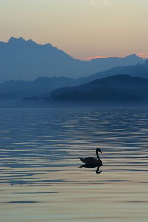 A lonely swan swimming across a lake in Switzerland photo