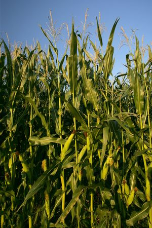Tall corn stalks growing under the bright sun. photo