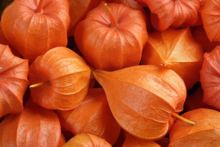 alkekengi: Background of Chinese lanterns, Physalis Alkekengi. Stock Photo