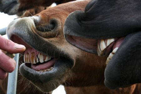 horses getting a treat showing a mouthful of bad teeth Stock Photo