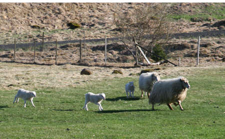 confiding: sheep with lambs running to eat dinner