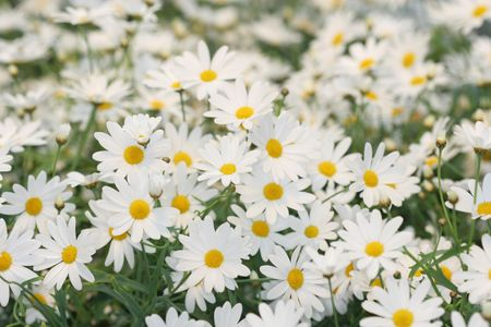 daisie: Un campo di bianco daisie in fiore