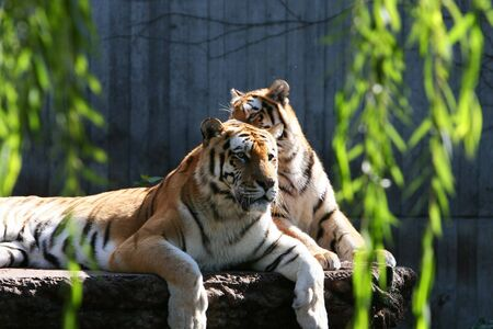 Tigers in a zoor, basking in the sun photo