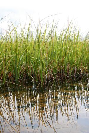 rietkraag: groen moeras tongen in water, weerspiegelingen van riet in het water, tegen een bewolkte hemel Stockfoto