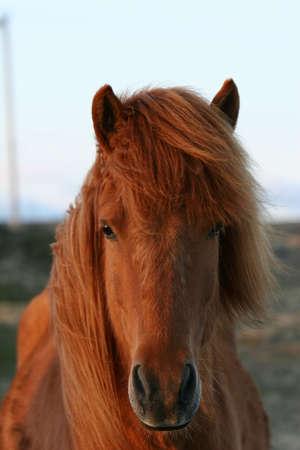 Redish brown horse, portrait shot of head and upperhalf
