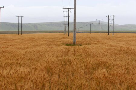A field of corn, with a bunch of wooden electric poles in it photo