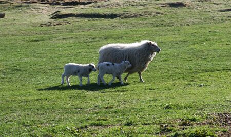 confide: Sheep with 2 lambs in no hurry walking in a green field