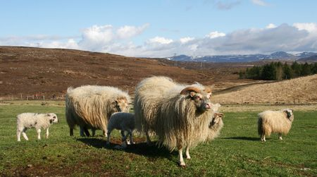 looking around: Sheep with lambs, one sheep looking around