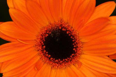 A tight macro shot of a orange macro gerbera flower Stock Photo - 1080656