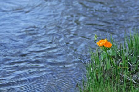 Photograph of orange flowers on a riverbank  photo