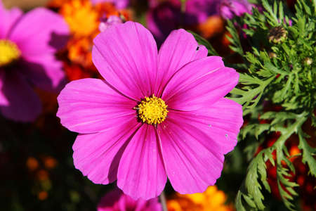 thousands: a purple flower, stands out form the rest because of intensity of color Stock Photo