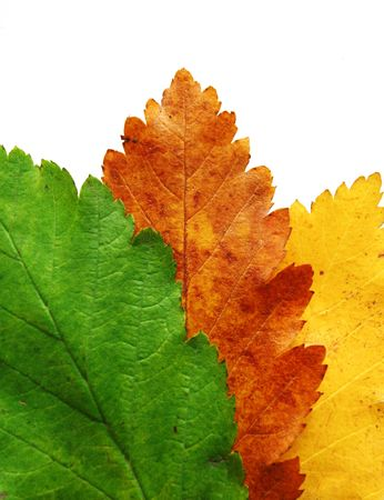 Three leaves all of the same tree in three different colors, green, yellow and orangered