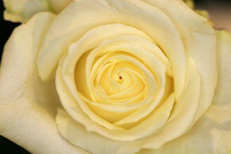 blumen: A tight macro shot of a white rose