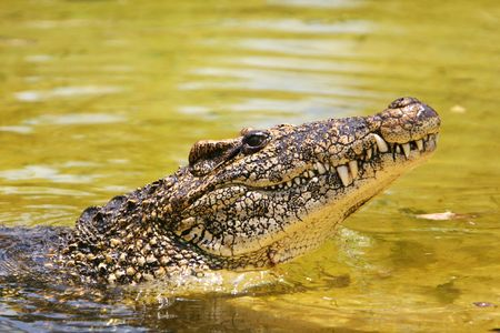 Profile of a cuban crocodile. Stock Photo
