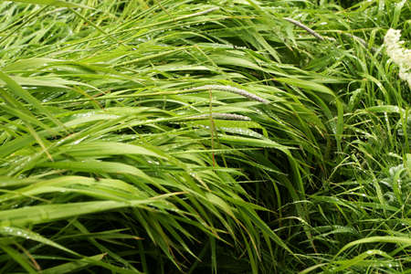over grown: Well grown green grass drooping over with dewdrops Stock Photo