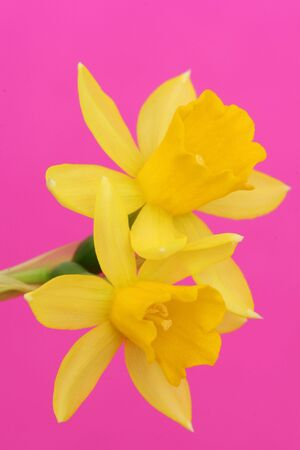 yelloow: yellow flower on pink background Stock Photo