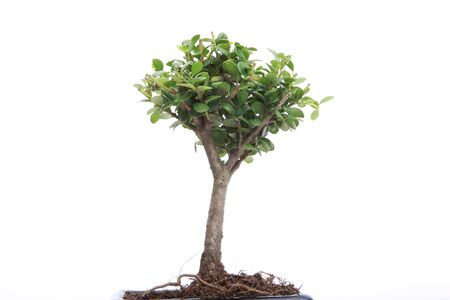bonsai tree: A small japanese bonsai tree in a pot isolated on white with copy space