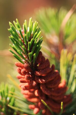 A close up of a pine tree needles growing on a treebranch Stock Photo - 4288344