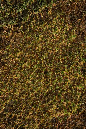 New green grass growing from dead grass, great for backgrounds Stock Photo - 6827530