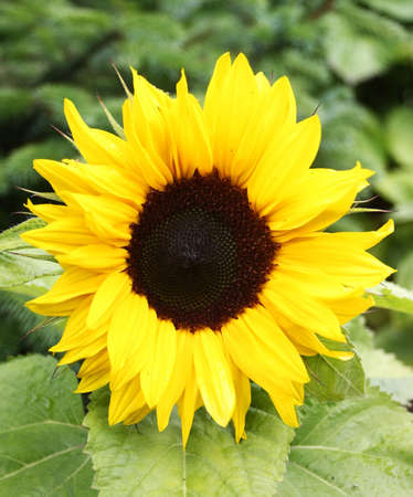 closeup of a sunflower growing in nature with green leaf background Stock Photo - 6827500