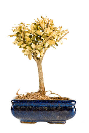 A shriveled bonsai tree in pot isolated on white Stock Photo - 9856614
