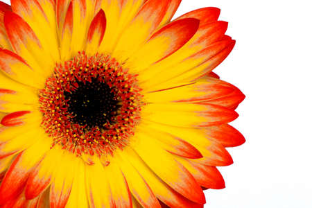 a yellow and orange gerbera shot on white background,cropped shot Stock Photo - 9856879