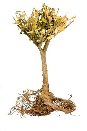 Shriveled bonsai tree isolate on white, Roots visible Stock Photo - 9856885