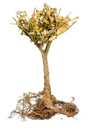 Shriveled bonsai tree isolate on white, Roots visible
