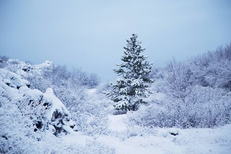 snow covered: Image of a pine tree in winter, covered in snow Stock Photo
