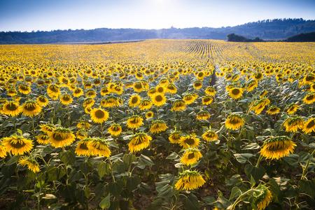 field crop: Big field of sunflowers growing in Europe, backlit by the sun