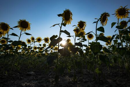 scorch: Sunflowers backlit by the hot summer sun, dry soil with sunflares Stock Photo