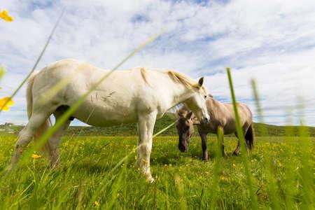 grazing: Icelandic horses grazing in pasture in Iceland Stock Photo