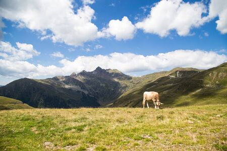 alp: Swiss cow in Alp pasture, Alps in the background