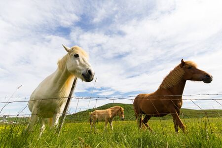 wide angle lens: Icelandic horses in pasture behind a fence, shot with a wide angle lens Stock Photo