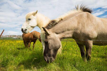 icelandic: Icelandic horses grazing in summer