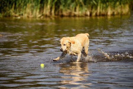 Golden retriever running in shallow water fetching a ball